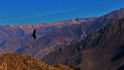 Ein Kondor über dem Colca Canyon