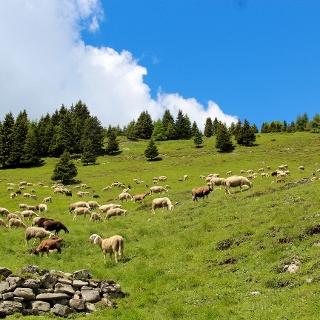 Pecore al pascolo verso Cima Avez
