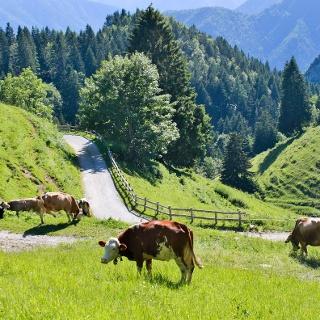 Mucche al pascolo a Malga Trat