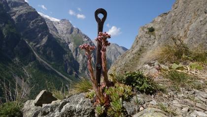 Berg-Hauswurz am Klettersteig Via Ferrata des Mines du Grand Clot