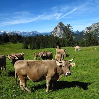 Kühe und die Mythen.