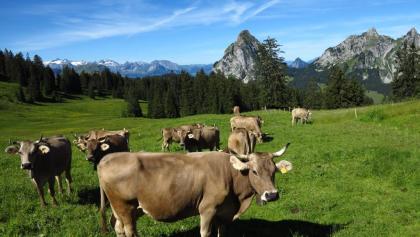 Stets präsent: Kühe und die Mythen.