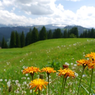 Blooming mountain meadows in Oberallgaeu