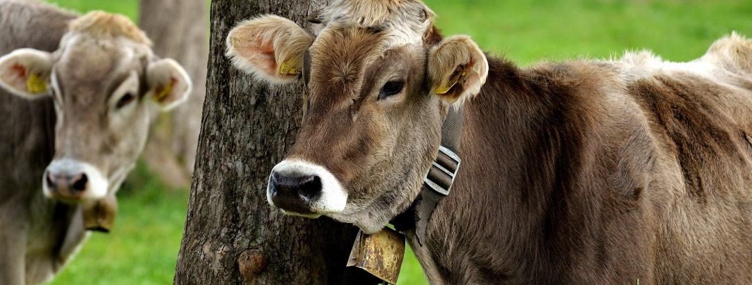Brown cattle in Allgäu