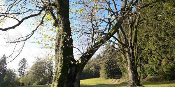 Alte Bäume bei Schwarzenberg (Abfahrt vom Vogelsang)