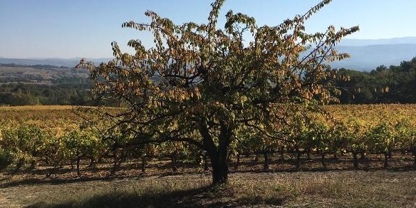 Cherry trees and vineyards