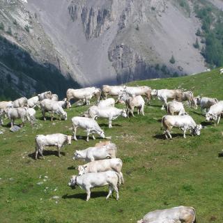 Rinder der piemontesischen Rasse am Colle Preit