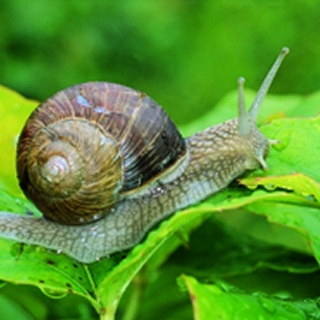 Snail - picture by Tognolini