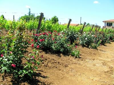 Rosen im Weinberg