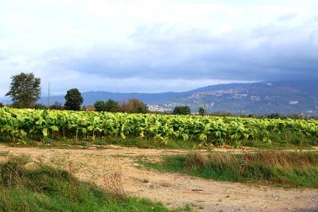 Tabakplantagen und Abschied von Cortona