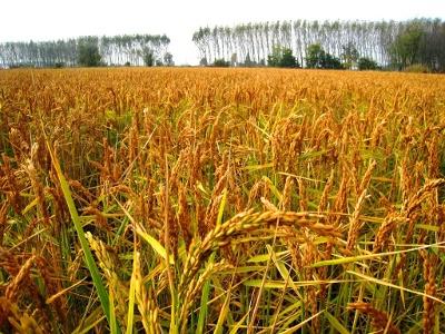 champs de riz mûr près de Nicorvo