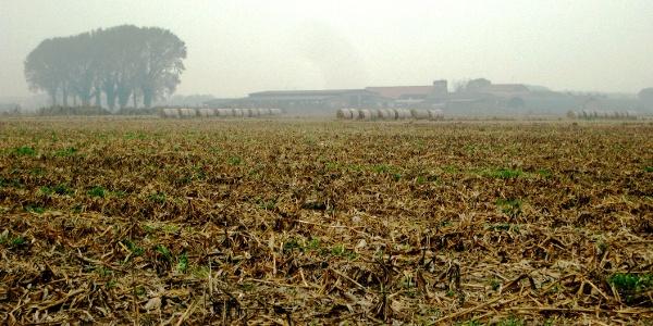 jetzt vermehrt  Mais resp. andere Getreide