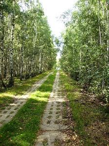 durch einen Birkenwald