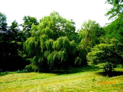 riesige Weiden im Uferbereich