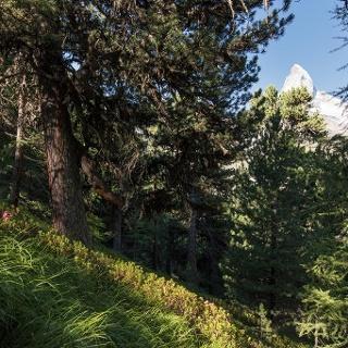 Wanderung durch den Arvenwald