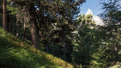 Randonnée à travers la forêt d'arolles
