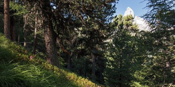 Walk through the forest of Swiss stone pine