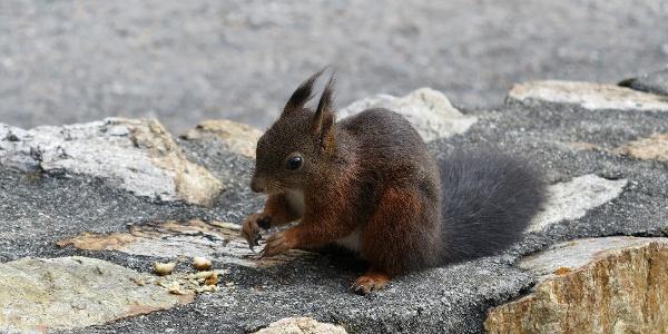 Eichhörnchen auf der Hohen Promenade in Davos.