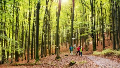 schöner Buchenwald zwischen Heimathenhof und Volkersbrunn