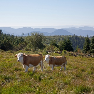 Beweidung der Grinden durch Hinterwälder Rinder
