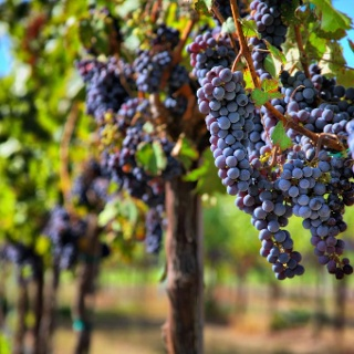 Grapes before the harvest
