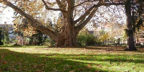 Több száz éves óriás platánfa Kőszegen