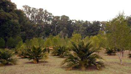 Chilenische Palmen