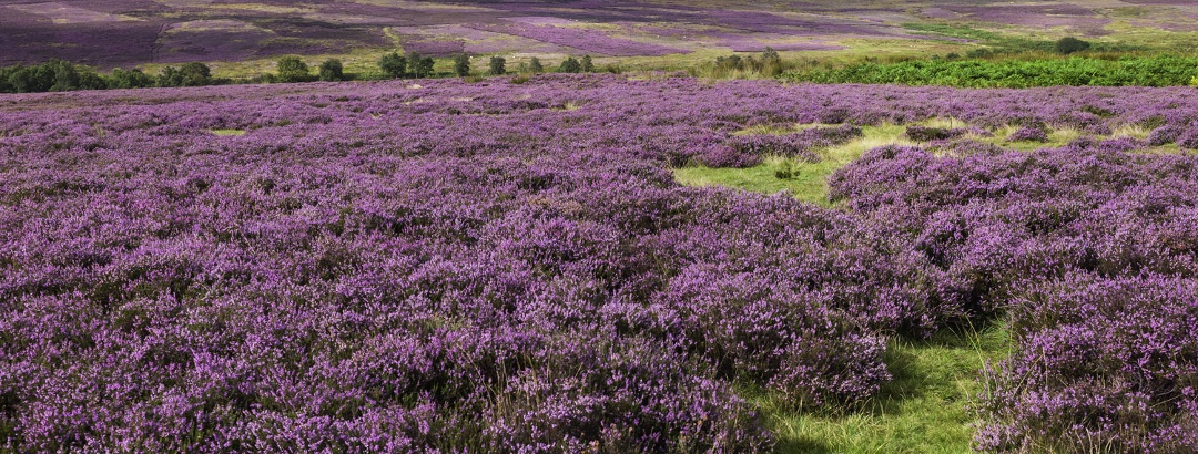 Heather on the Moors
