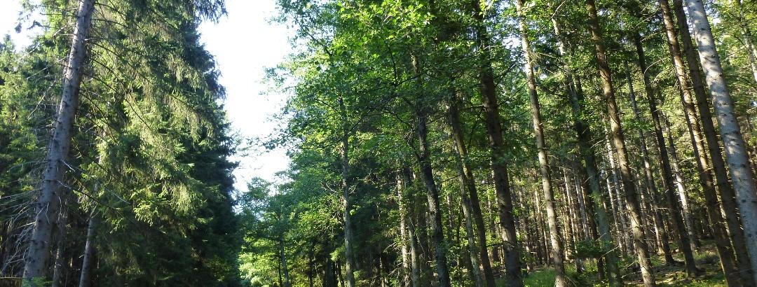 Sonniger Fichtenwald