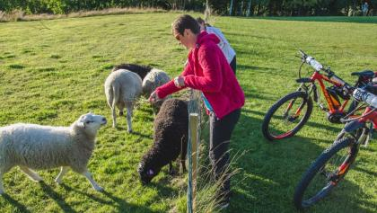 Sheep are friendly animals –say hello to them
