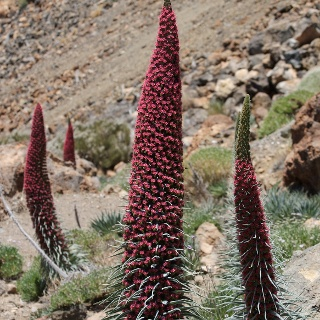 Natternkopfblüte im Teide-Nationalpark