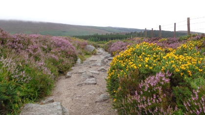 Blooming Heather along the Wicklow Way
