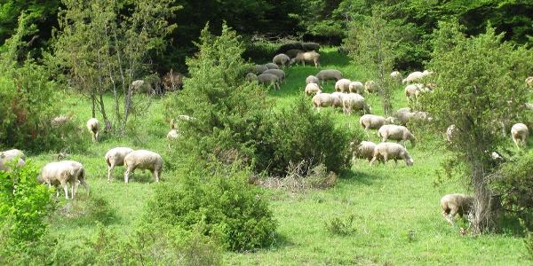 Schafe auf Wacholderheide