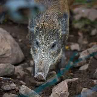 Wildschweingehege im Forellenpark Kleinenztal