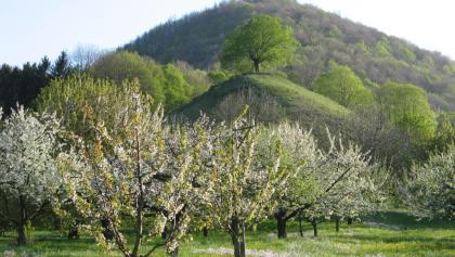 Kirschblüte Calverbühl