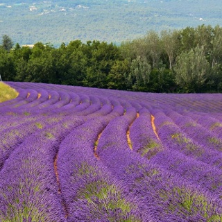 Lavender fields near Roussillon