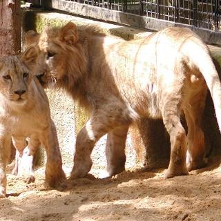 Löwen im Tierpark Chemnitz