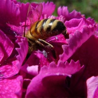 Honungsarbetaren - biet