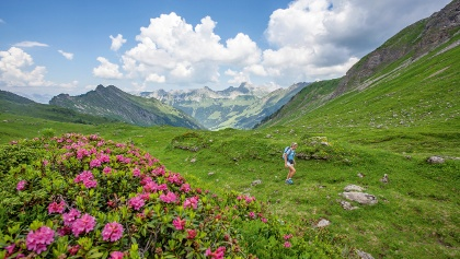 Blühende Alpenrosen auf dem Col d'Isenau.