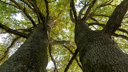 Eiche-Zwillinge am Tiergarten