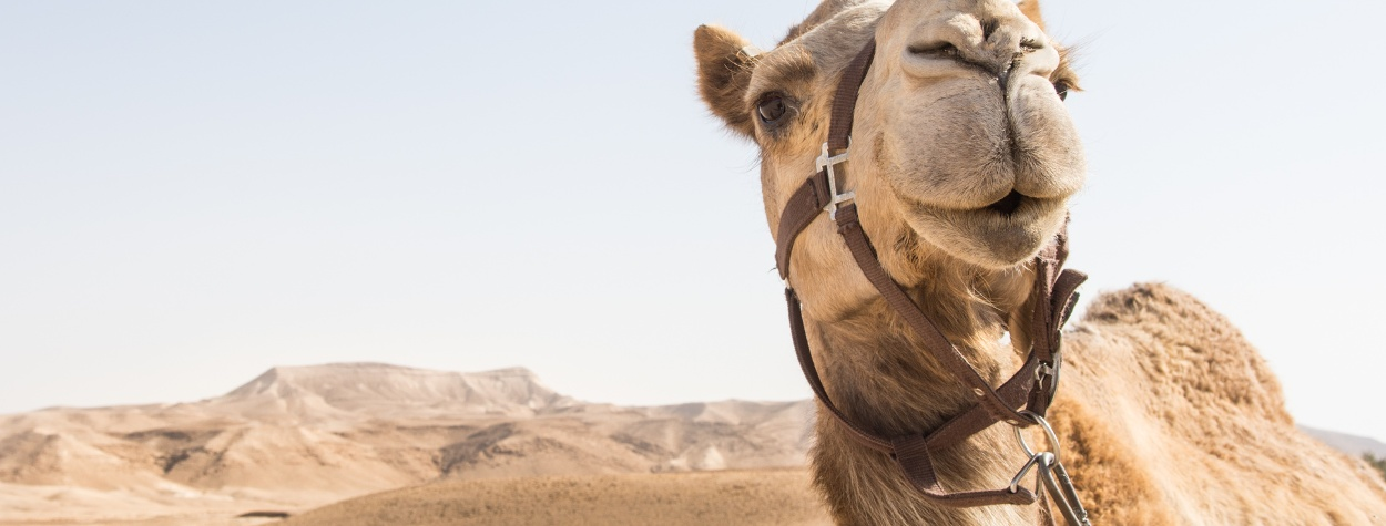 Kamel in der Negev-Wüste