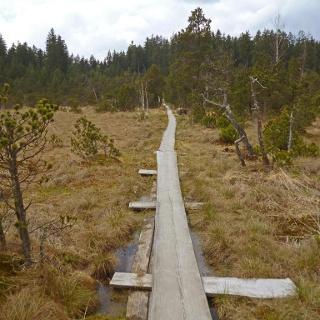 Der Brettleweg leitet über schmale Holzbohlen durch das Wiesfilz.