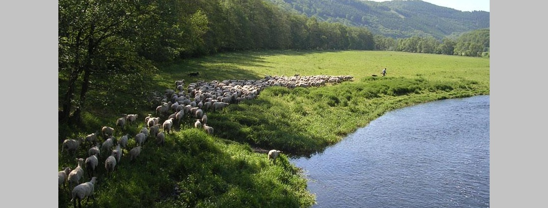 Schafe an der Eder