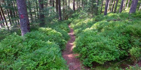 Einsamer Pfad durch den Kohlwald