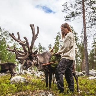Harriniva reindeer