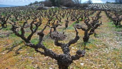 Weingärten am Plateau des Vouni