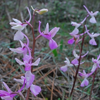 Orchideen am Smigies Trail