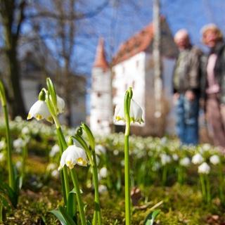 Blüte Märzenbecher Schloss Schlettau