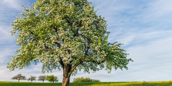 Markante Hochstammobstbäume säumen diese Tour.