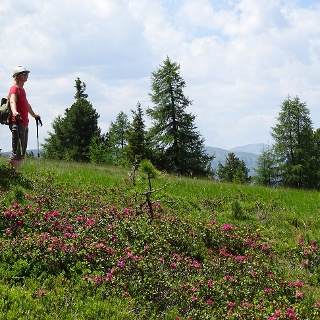 Almrauschblüte bei der Wanderung am Kreischberg